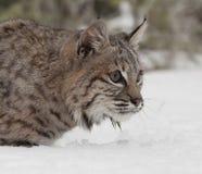 bobcat Royaltyfria Foton