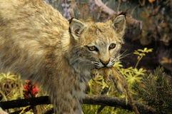 Bobcat. Close up image of bobcat with it's kill Stock Photos