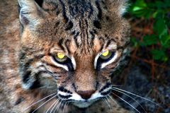 Bobcat. Close up of a bobcat, eyes glowing yellow Royalty Free Stock Photo