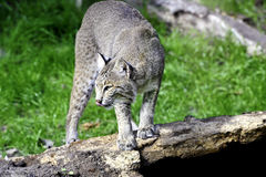 Bobcat. A bobcat standing on a log with his pink tongue out Royalty Free Stock Photo