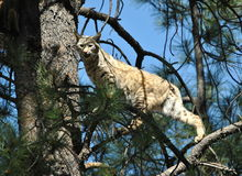 Bobcat. An image of a bobcat up on the tree top Stock Photos