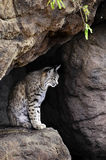 Bobcat. A bobcat sitting in a cave Royalty Free Stock Photo