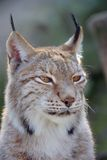 Bobcat. A view of a bobcat in the zoo Stock Image
