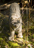 Bobcat Lynx Wildlife Lumbering Around the Ground Stock Images