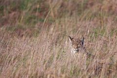 Bobcat. Captured on a grassy hill in Marin County, California Royalty Free Stock Photo