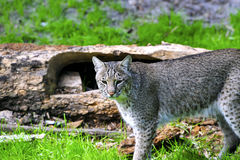 Bobcat. A bobcat standing on green grass next to a log Royalty Free Stock Photography