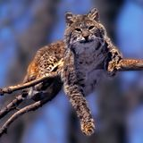 Bobcat. A Bobcat rests comfortably in a tree warming in the sun Stock Image
