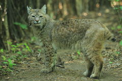 Bobcat. The bobcat standing in the soil Stock Photo