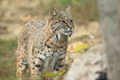 Bobcat. The bobcat standing in the plains Stock Photos