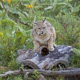 Θηλυκό Bobcat που προστατεύει τα γατάκια μωρών στο κούτσουρο Στοκ Φωτογραφίες