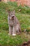 Bobcat Arkivbild