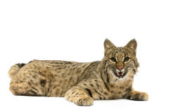 Bobcat. Closeup of bobcat on white background Stock Images