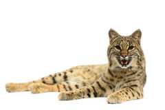 Bobcat Royalty Free Stock Image
