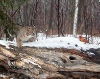 Bobcat Στοκ εικόνες με δικαίωμα ελεύθερης χρήσης