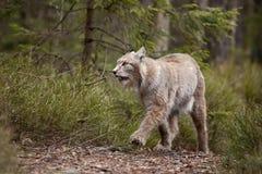 Bobcat Στοκ Φωτογραφίες