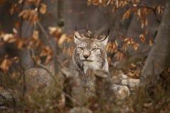 Bobcat Stock Fotografie