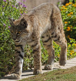 Bobcat. A large bobcat shot in Sonoran Desert just North of Scottsdale, Arizona Stock Images