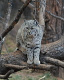 Bobcat Royaltyfria Bilder