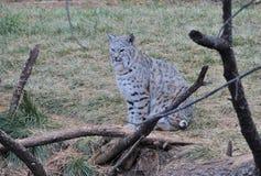 Bobcat Royalty-vrije Stock Fotografie