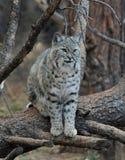 Bobcat Στοκ Εικόνα