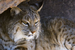 Bobcat Στοκ εικόνα με δικαίωμα ελεύθερης χρήσης