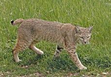 Bobcat Στοκ Φωτογραφία