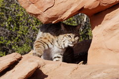 Bobcat. Peering from rocky sandstone overhang with green foliage in background Stock Photo