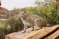 Bobcat. Sitting on red sandstone ledge with green foliage in background Stock Image
