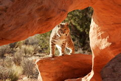 Bobcat. Peering into red sandstone hollow with green foliage in background Stock Photography