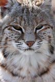 bobcat Στοκ φωτογραφίες με δικαίωμα ελεύθερης χρήσης
