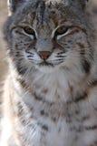 bobcat Στοκ φωτογραφία με δικαίωμα ελεύθερης χρήσης