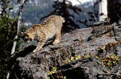 Bobcat. A wild Bobcat in the mountians Stock Images