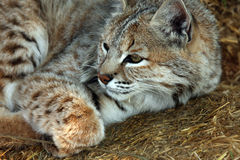 Bobcat. Closeup of a pretty Bobcat laying down Stock Photography