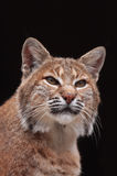 Bobcat. Close-up of a bobcat (Lynx rufus Royalty Free Stock Photo