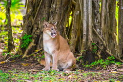 Bobcat στη ζούγκλα Στοκ φωτογραφία με δικαίωμα ελεύθερης χρήσης