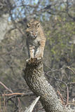 Bobcat. On tree stump. Photographed in North Dakota Badlands Stock Photos