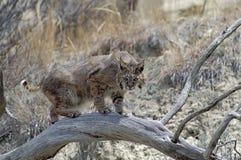 Bobcat. In fallen tree. North Dakota Badlands Royalty Free Stock Photos