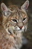 Bobcat. Closeup of a Bobcat watching something intently Stock Images