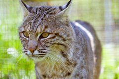 Bobcat. Close-up image of a bobcat at feline rescue center in Indiana Royalty Free Stock Photos