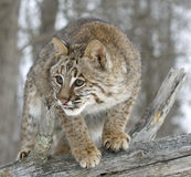 Bobcat. Close up of a bobcat on fallen tree in Northern Minnesota Stock Photography