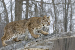 Bobcat. On fallen tree. Northern Minnesota Royalty Free Stock Photos