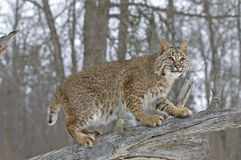 Bobcat. On fallen tree winter coat Stock Image