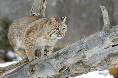Bobcat Royalty Free Stock Photo
