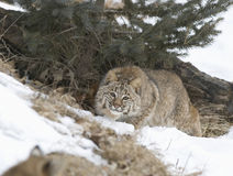 Bobcat. Stalking prey. Winter in Northern Minnesota Stock Photo