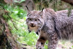 Bobcat. In the wild Royalty Free Stock Photo
