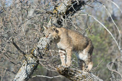 Bobcat. In tree. Photographed in North Dakota Badlands Royalty Free Stock Images