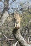 Bobcat. On tree stump, North Dakota Stock Photo