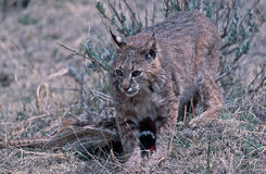 Bobcat. A young bobcat protecting his catch Stock Photography