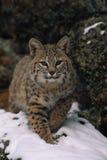 Bobcat. A bobcat walking out from a rocky den Stock Photos