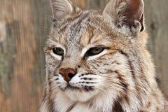 Bobcat royalty free stock photos